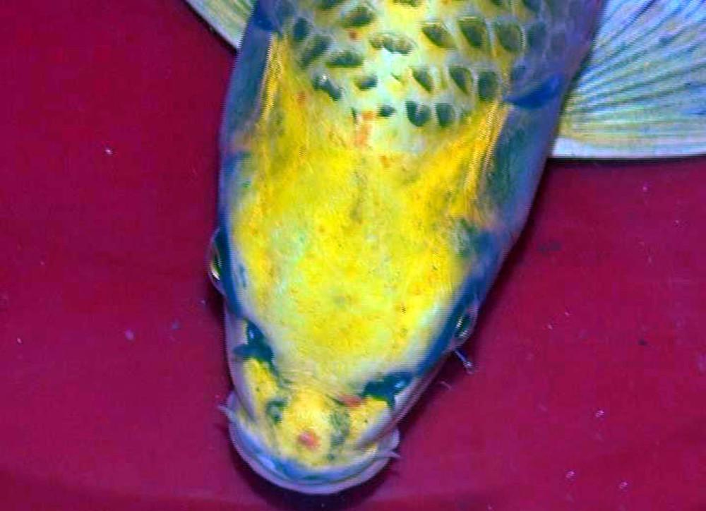 市民钓到一条观赏鱼 花纹酷似豹子
