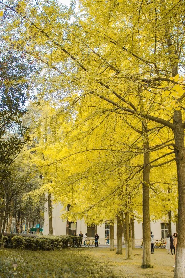 """电子科大沙河校区,作为""""全国九大最美银杏观赏地""""之一,每一个秋天吸引"""