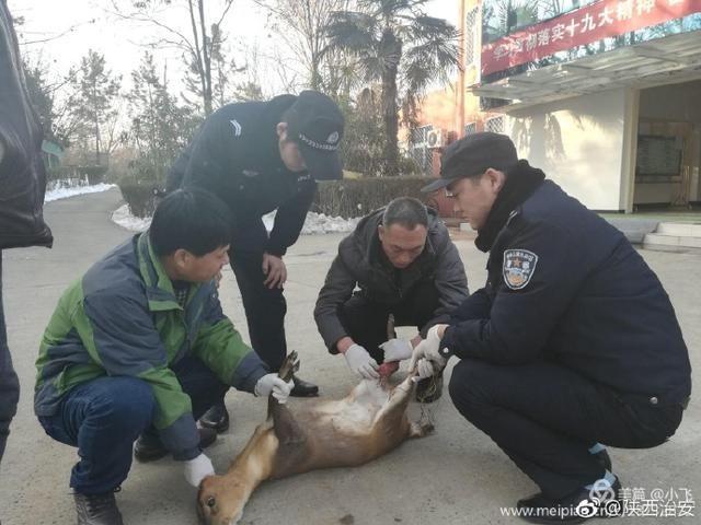 西安鄠邑分局太平所救助国家二级保护动物麂子