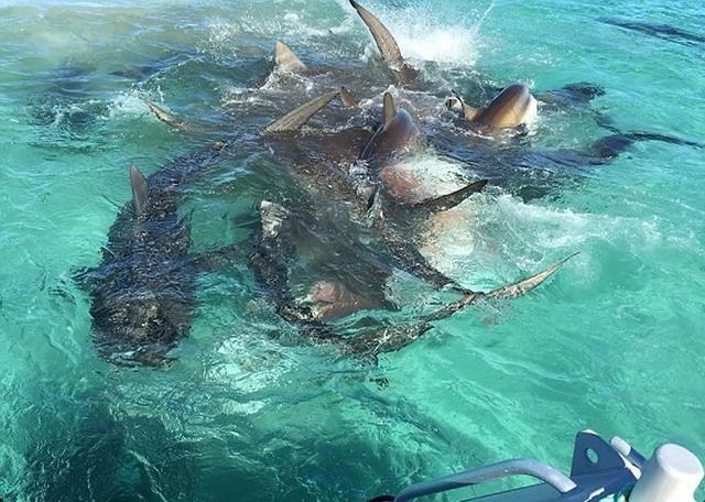 动物兄弟与虎鲨