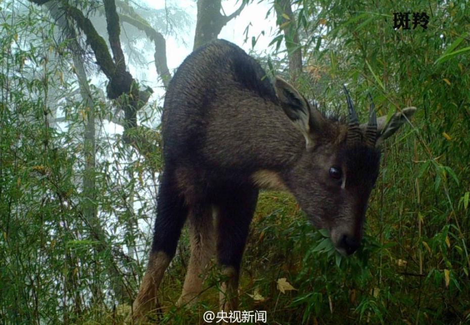 """白水江自然保护区红外相机前 动物纷纷""""自拍"""""""