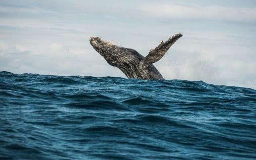 相传有着鲸鱼般巨大的躯体,身体长满白毛,长有类似象鼻的结构,躯体全
