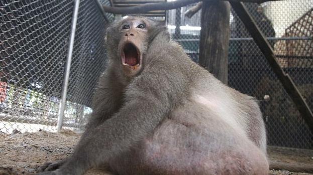 这只野生猴子因过重被抓起来强制减肥徒手减脂能瘦么图片