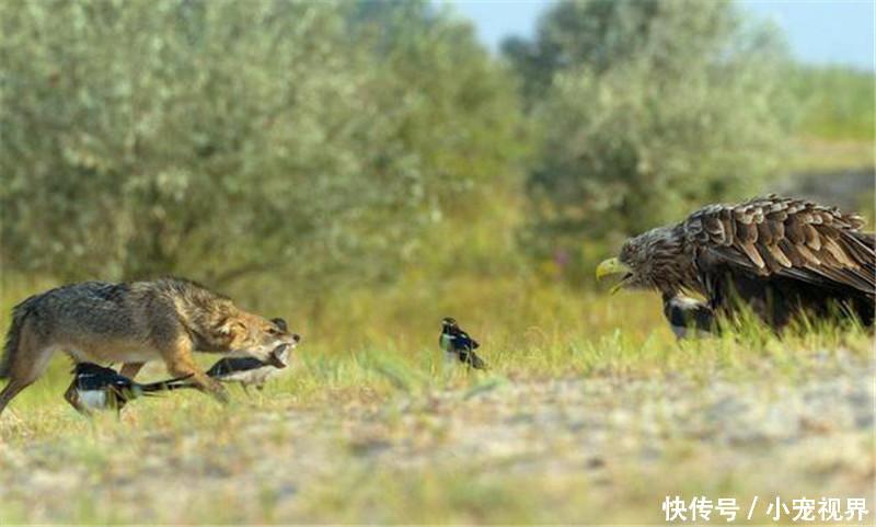 胡狼应该是想偷袭,但是被老鹰发现了,结果开始互相争斗.