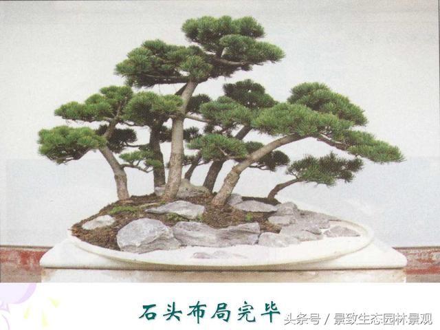 树桩盆景的造型创造与养护制作篇
