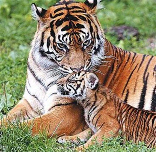 你是不是虎_暴躁的公老虎霸王硬上弓强暴之后逼迫母老虎成为虎母