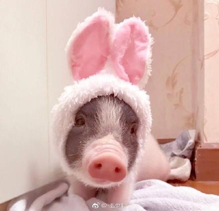 新郎花12万办猪主题婚礼,50头猪让新娘很无语