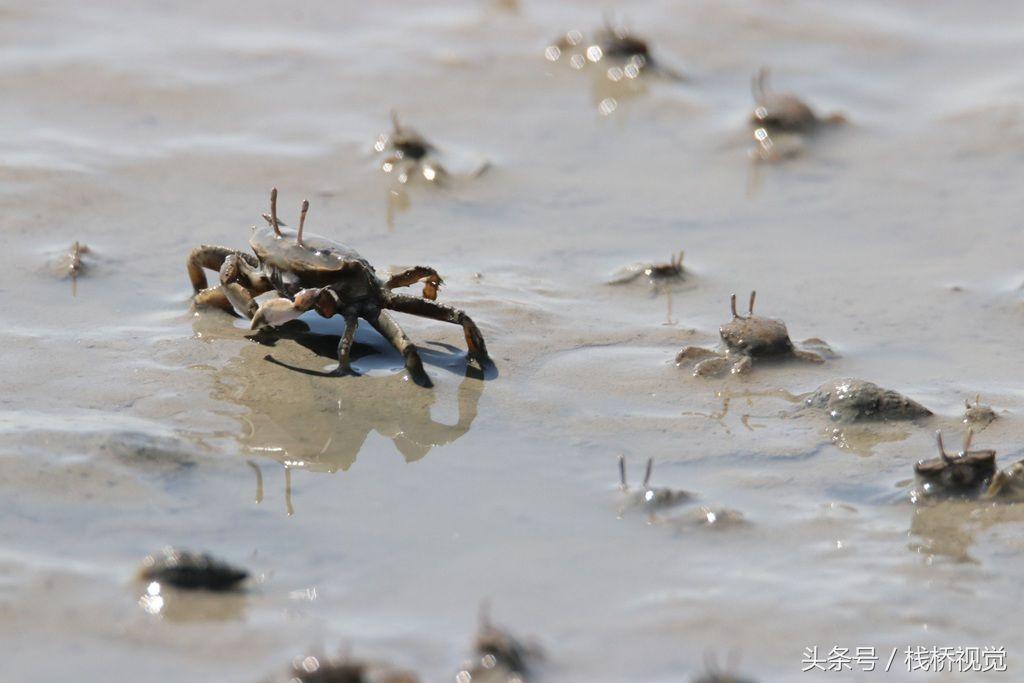 青岛:漫海滩小螃蟹横行霸道觅食