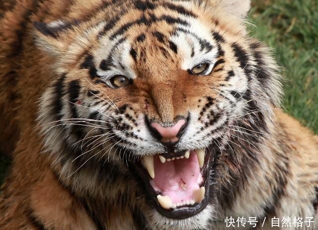 6只发怒时的猫科动物,你最不敢面对哪一只?