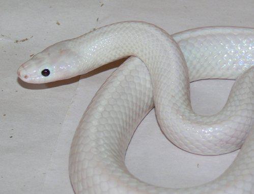 孕妇梦到白色透明的蛇钻到我的身体