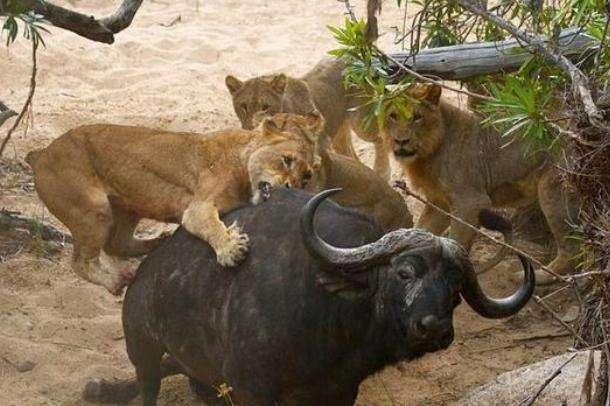 肏死大黑逼肛交好爽_母狮死抓烂咬都没能干过野牛 最后母狮露出这样表情