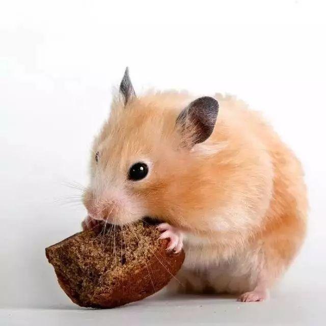 我家仓鼠突然好a仓鼠,也打针东西……?被蜥蜴咬出血了去哪不吃图片