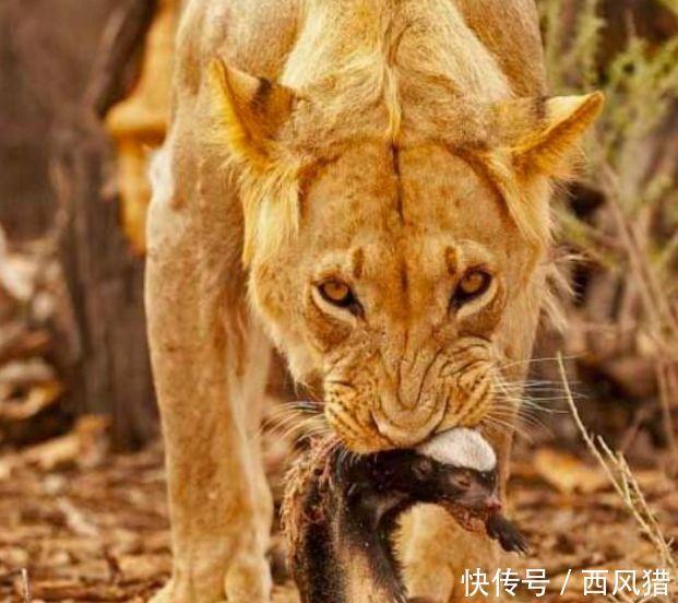 动物的生死瞬间:平头哥又逮着一根辣条 小猴子尾巴被豹子踩住了