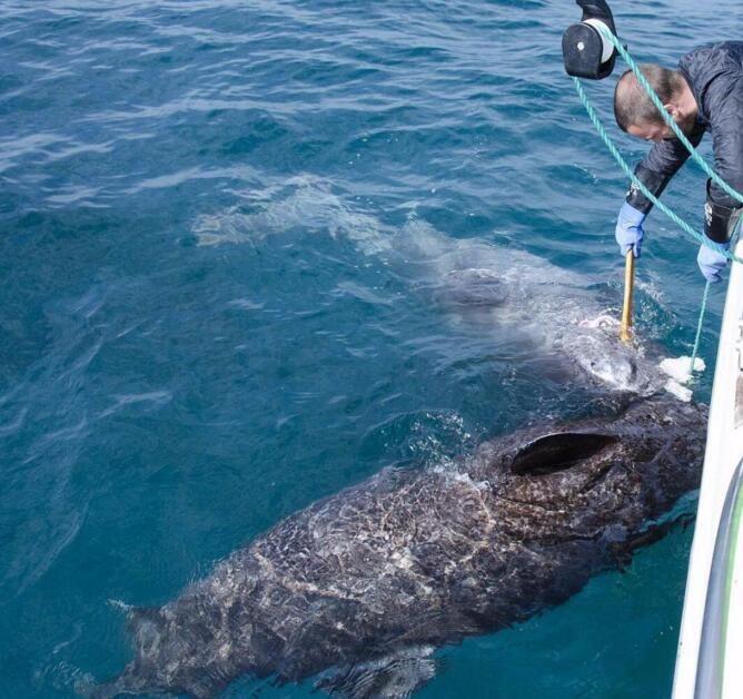 科学家发现世界最年长脊椎动物:一条512岁的鲨鱼