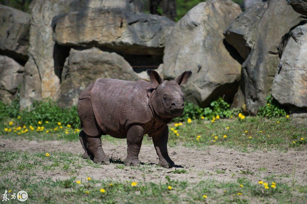 """动物园一只小犀牛出生,身披""""铁甲""""如同时装表演"""