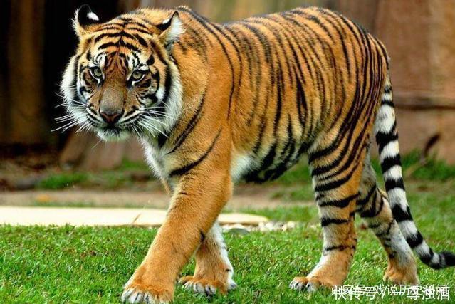 老虎作为猫科动物之王,实力完全碾压其他物种.