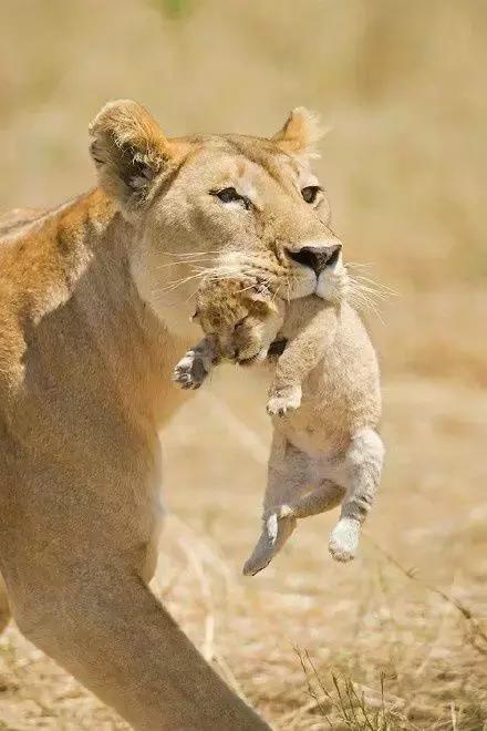 猫科动物宝妈带孩子的特殊方式,小宝的都是这么经历过来的
