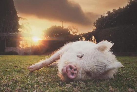 小猪的可爱睡觉图片
