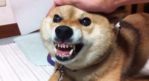 媳妇不听劝说非要养狗,还养了一只很凶的狗,龇牙咧嘴让人尴尬!图片