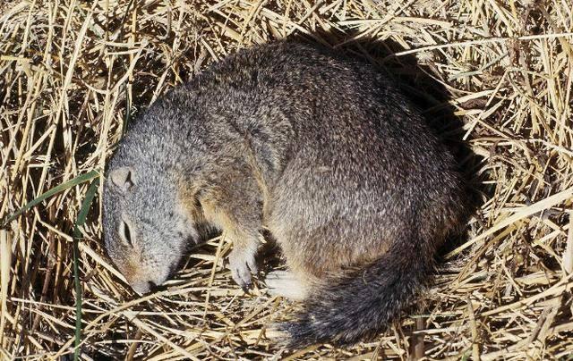 """动物界里冬天的""""睡神"""",动物冬眠也有意想不到的现象"""