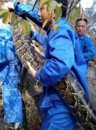 深圳蛇口惊现100余斤大蟒蛇 抓捕现场吓坏众人