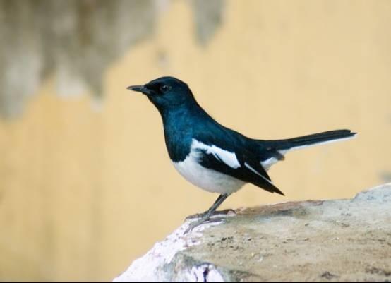 中国北方鸟类大全-常见叫声麻雀_北方哪种鸟爱叫_山雀长得像鳐鱼图片