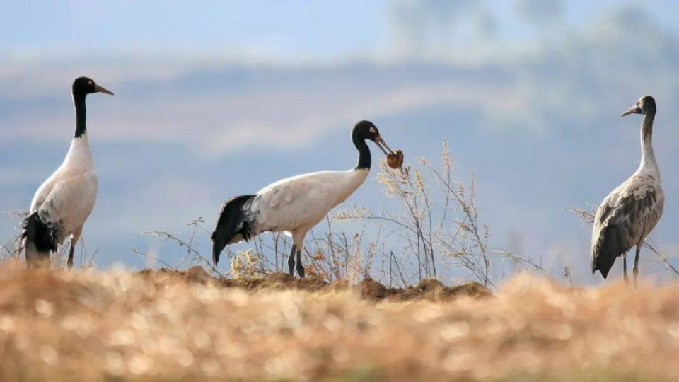 属于野生生物类型自然保护区 @南北巢 此外,这里还有国家一类保护动物