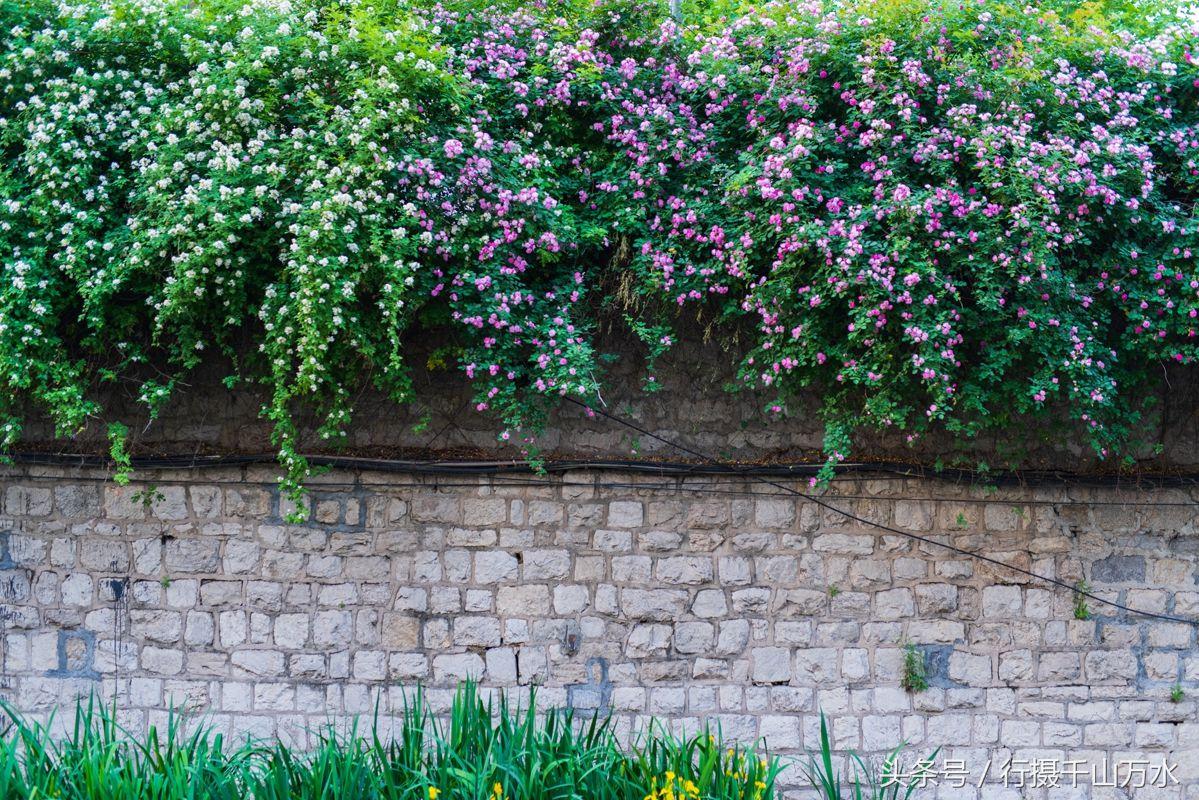 最美四月天,济南青年东路的这片蔷薇花墙美到爆!