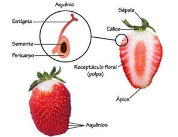 复习概念戳这里> 草莓的果实是一种 聚合果,就是很多果实聚合在同