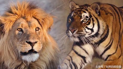 做梦梦到老虎和狮子_老虎和狮子都是百兽之王,到底谁最厉害?北魏皇帝早就做过实验