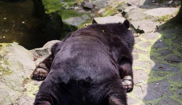 起先黑熊像大多动物园里的动物一样,懒洋洋的完全不搭理小家伙.
