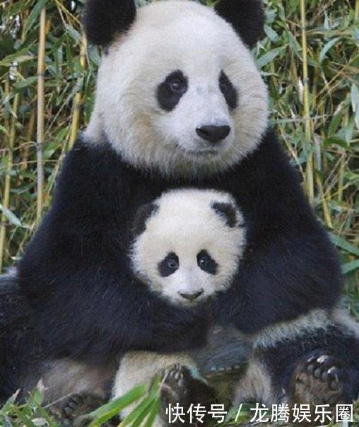 而小熊猫一脸委屈的样子好生可爱!
