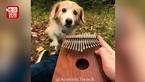 狗狗听主人弹拇指钢琴沉醉 这一刻太温馨