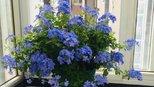 五种花期超长的木本植物,四季开花,漂亮好养,秋天养花就选这些
