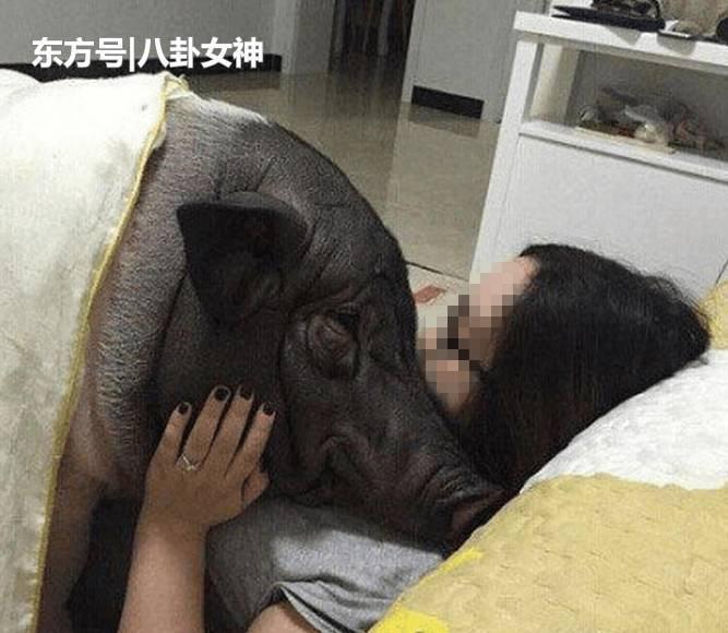 女孩与猪生活5年 习惯和它同吃同住