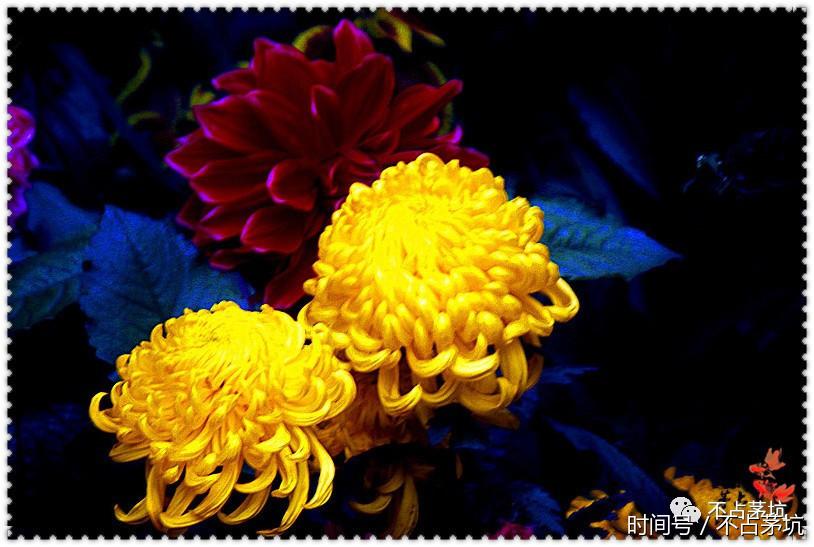 5545,游人赏菊拍照留影(原创) - 春风化雨 - 诗人-春风化雨的博客