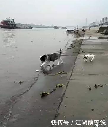 哈士奇带法斗去河里玩,法斗:我不去,水太深了!二哈:很浅!