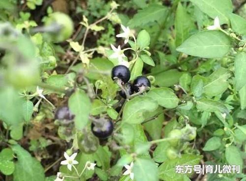 杭州卡地亚手表回收多少钱专门长在垃圾堆的野果为什么它是癌症的天敌