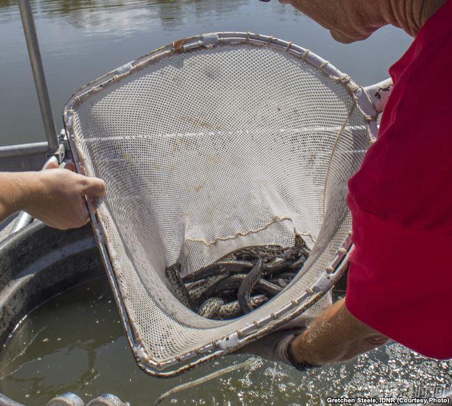 (文摘)美国人为对付亚洲鲤鱼入侵 放出上亿年前怪鱼 - aihua191 -    aihua191的 博 客