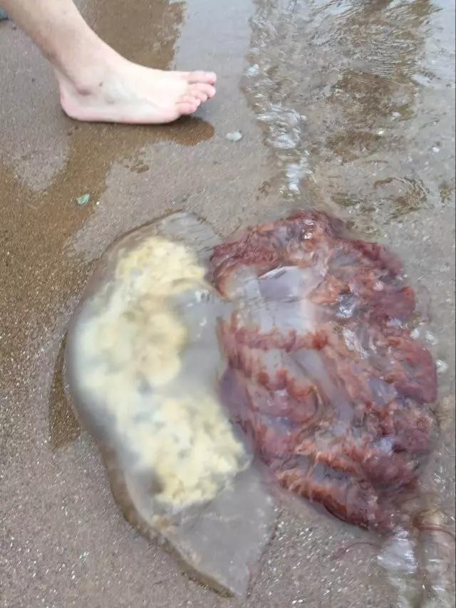 大连部分海域出现海蜇 曾有女童被蛰身亡 - 周公乐 - xinhua8848 的博客