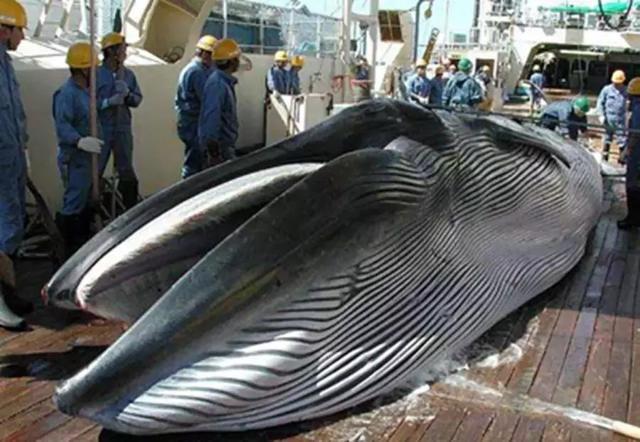 日本人吃鲸鱼肉的背后:为何日本宁愿舍弃80亿