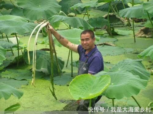 农民种藕却不卖藕,一年下来也照样收入十几万