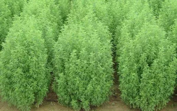 农民当它是荒野杂草,却不知它是挽救几百万人性命的良药!!! - 周公乐 - xinhua8848 的博客